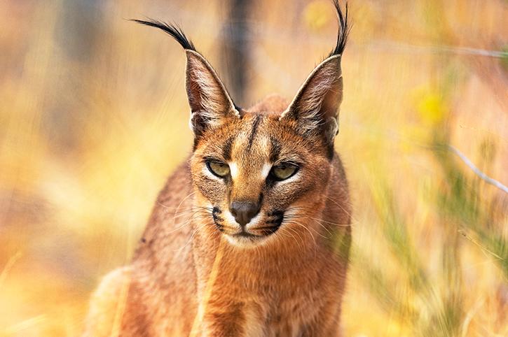 Lynx, Namibia