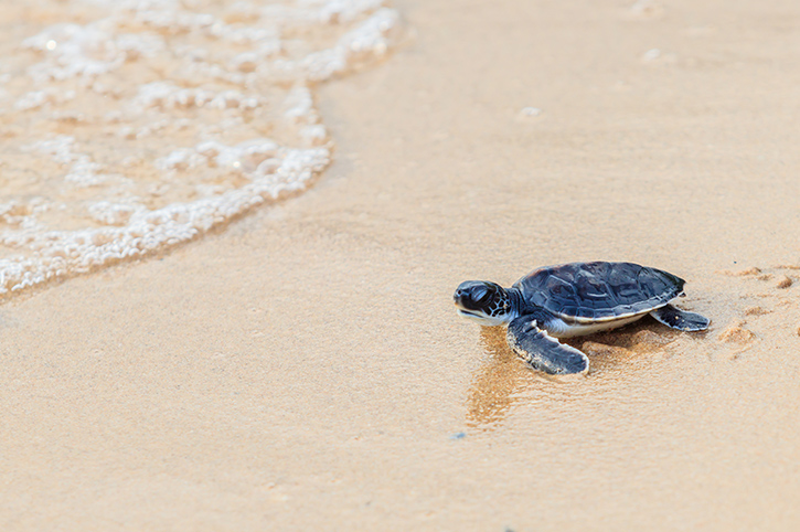 Turtle, Bali