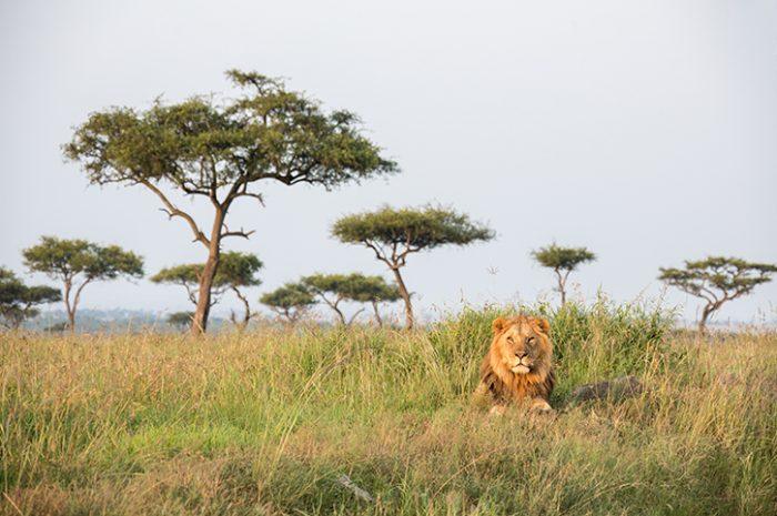 Male Lion in the Masai Mara, Kenya