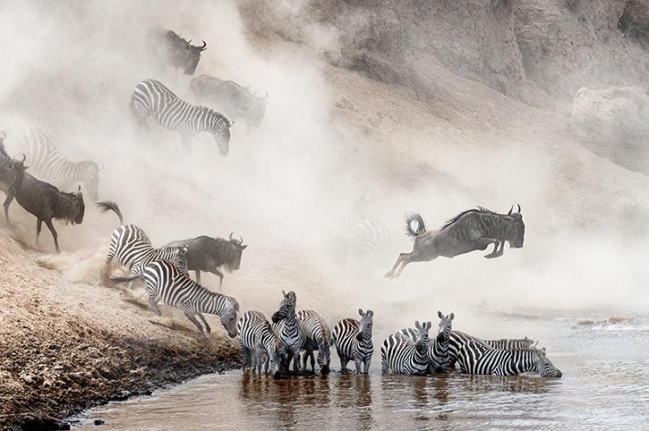 Wildebeest and zebra, Mara River