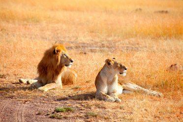 Masai Mara Lions KENYA Africa