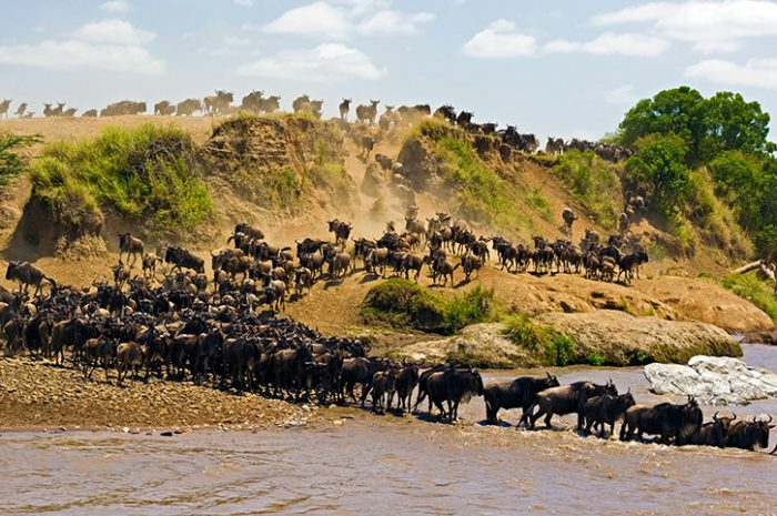 Migrating Wildebeest in Masai Mara