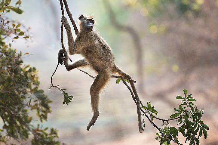 Monkey, Zimbabwe