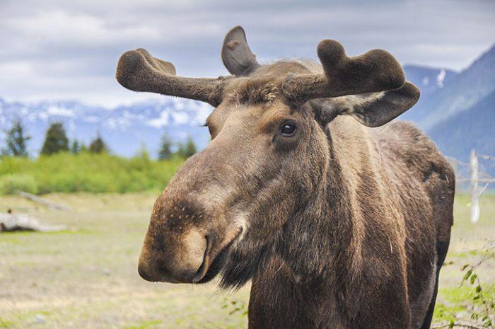 Moose, Alaska