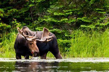 Moose Drinking, Canada