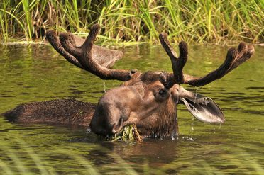 Moose In Water, Alaska