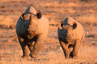 Mother And Baby Rhino, Namibia
