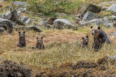 Mother And Cubs, Canada