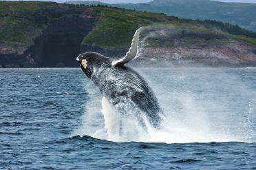 Breaching Whale Newfoundland