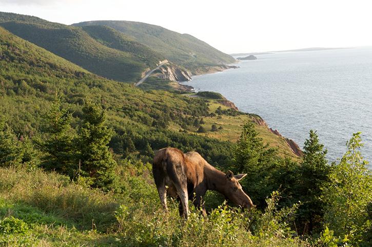 Moose Cabot Trail, Nova Scotia, Canada