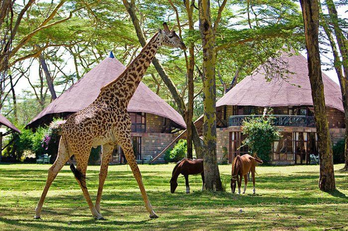 Naivasha Sopa lawn with giraffe
