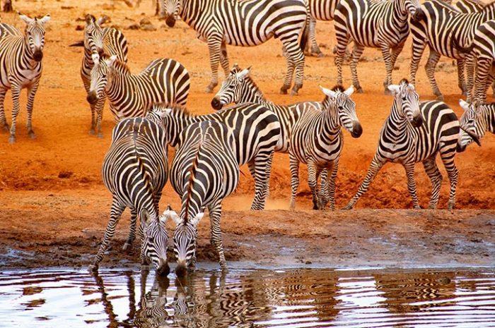 Ngutuni Lodge Zebras Drinking
