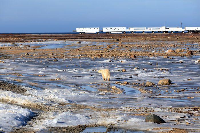 Observing Polar Bears, Canada