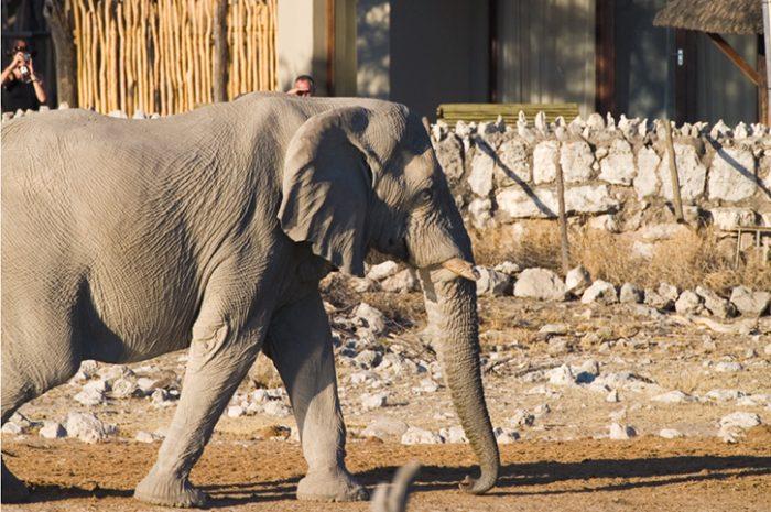 Okaukuejo Waterhole Elephant