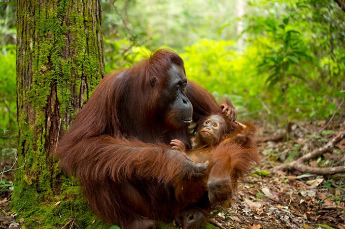 Orangutan Mother and Child, Borneo