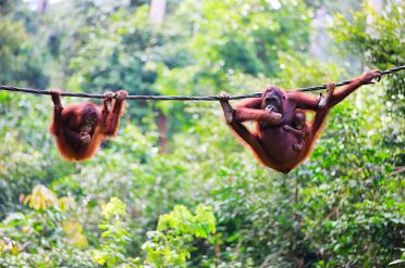 Orangutan family in Borneo