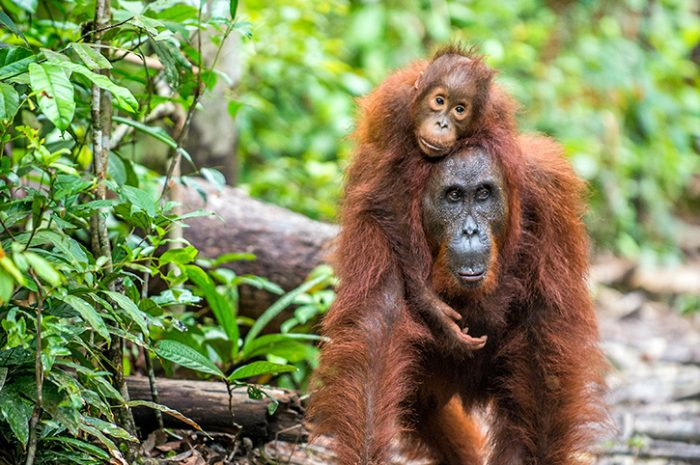 Orangutans, Borneo