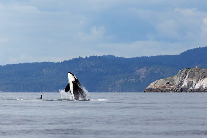 Orca Whale, British Columbia
