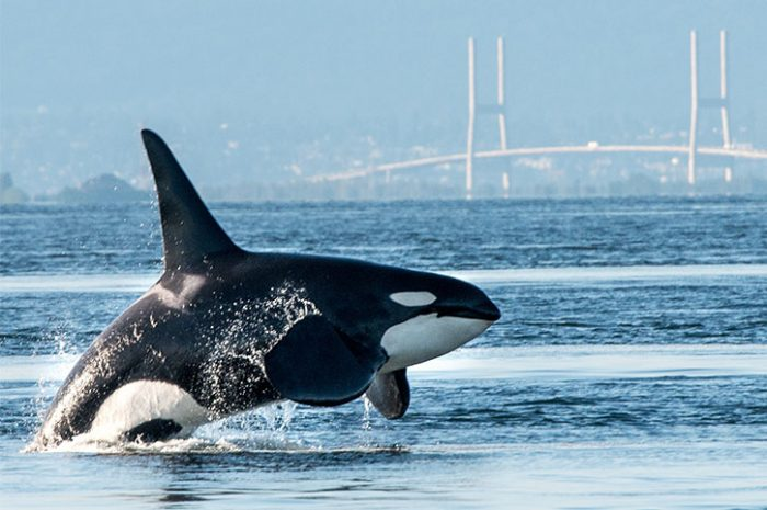 Orca Breaching In Vancouver Harbour, Canada