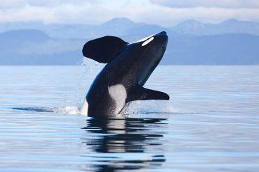 Orca Victoria Canada