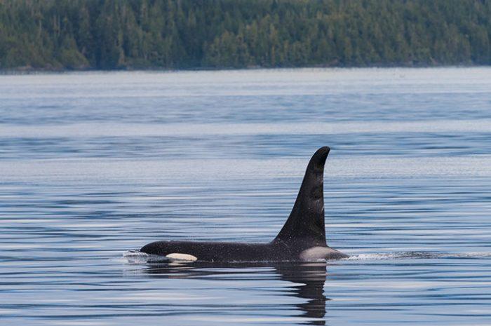 Orca Whale, Canada