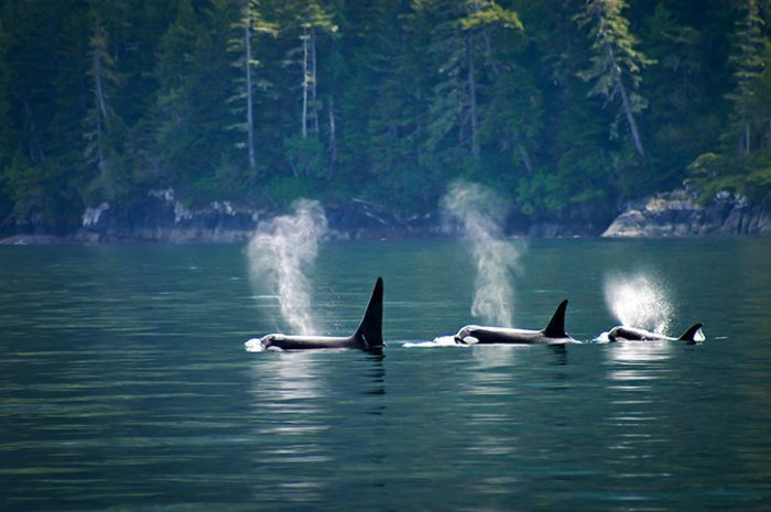 Orcas, Vancouver Island