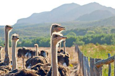 Ostrich farm in Oudtshoorn, South Africa