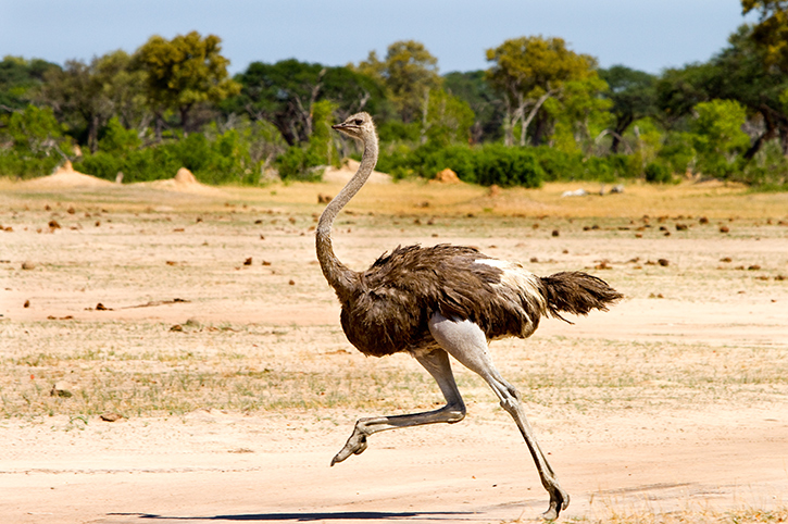 Ostrich, Hwange National Park