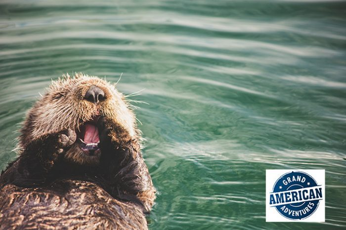 Otter Swimming, Alaska