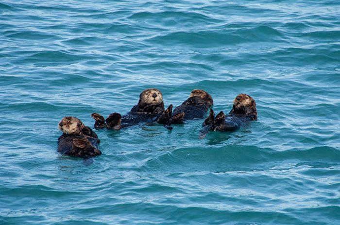 Otter Family, Alaska
