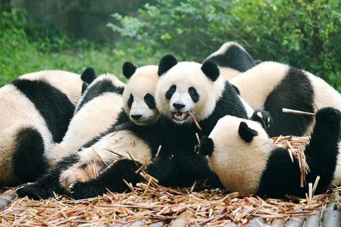 Panda Research Centre Chengdu