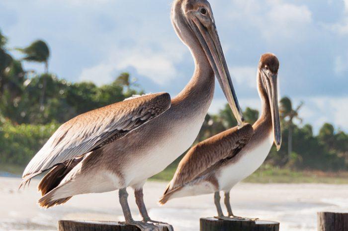 Pelicans, Naples