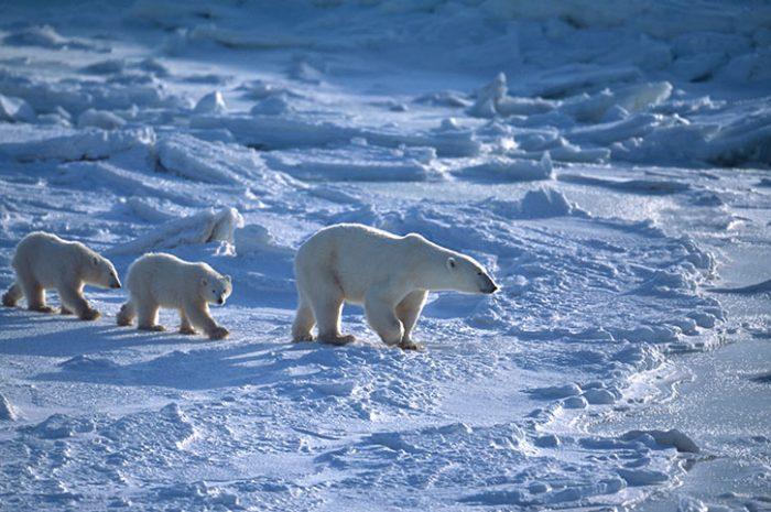 Polar Bear Family, Canada