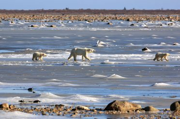 Polar Bear Mother And Cubs, Canada