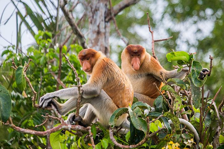 Proboscis Monkeys, Borneo