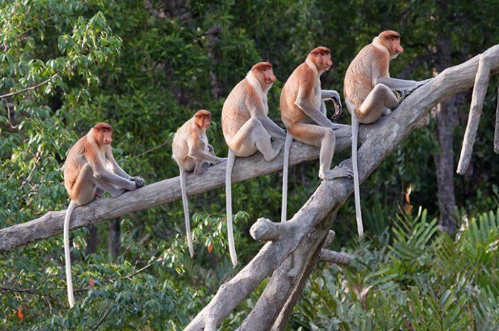 Proboscis Monkeys Borneo