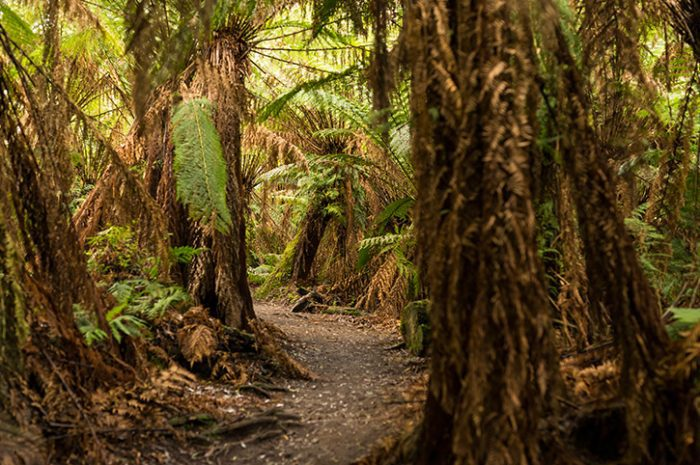 Rainforest Walk, Great Otway Park