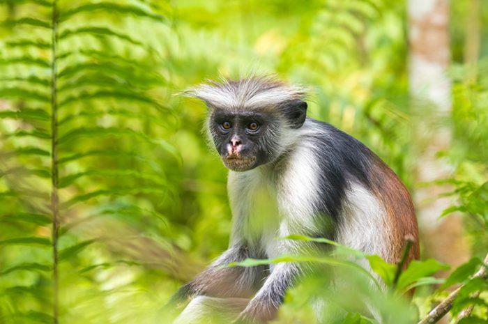 Red colobus monkey, Jozani Forest