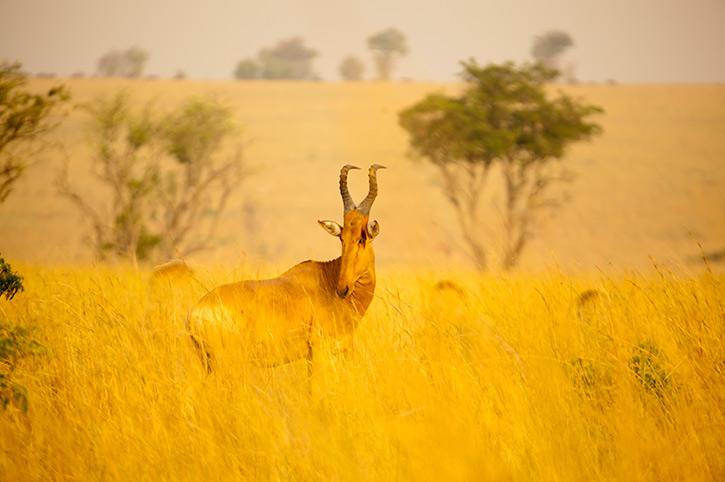 Red hartebeest, Uganda