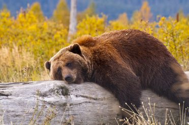 Resting Grizzly Bear, Alaska