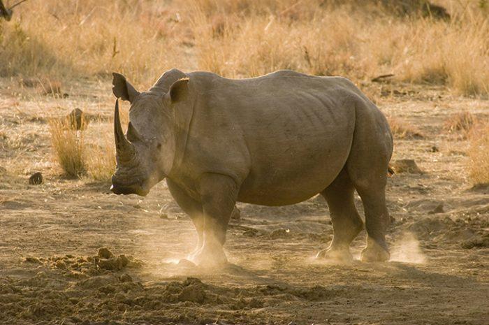 Rhino, Pilanesberg National Park