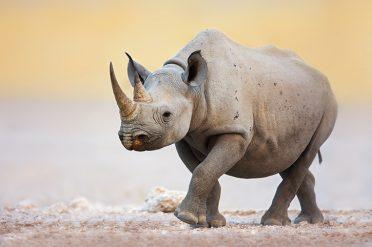 Rhino in Etosha National Park