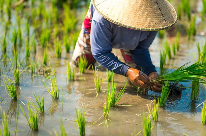 Rice Field, Lombok