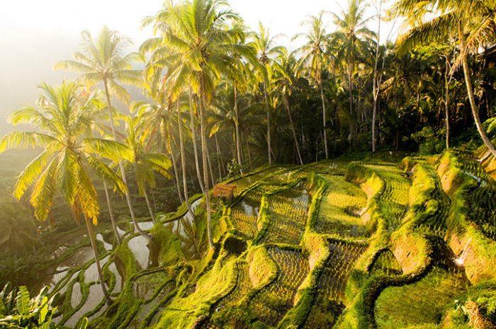 Rice fields, near Ubud