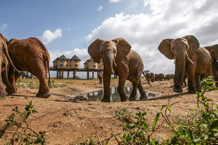 Sarova Salt Lick Lodge Elephants