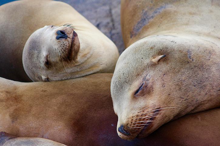 Sea Lions, Monterey, California