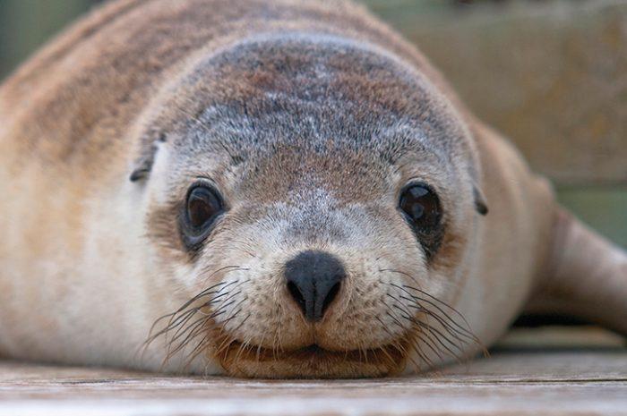 Sealion, Kangaroo Island