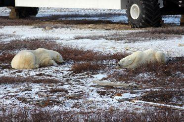 Sleeping Polar Bears, Canada