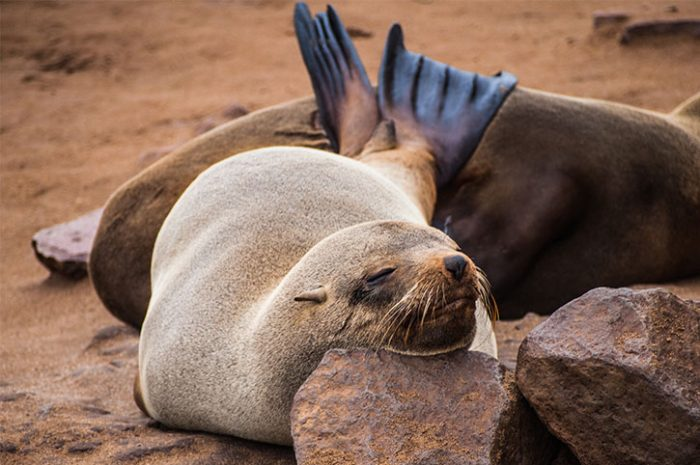 Sleeping Seal Pup, Namibia