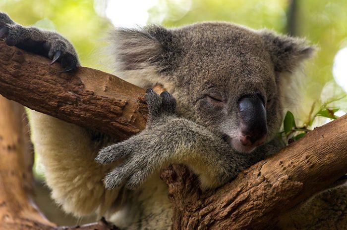 Sleepy Koala, Australia Zoo, South Queensland